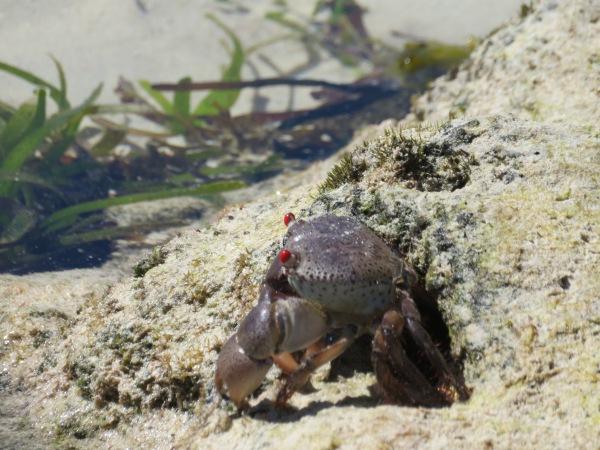 Red Eyed Crab