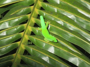 Gecko (dropped tail)